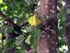Carambolier fruit carambole. Averrhoa carambola