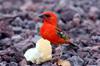 oiseau : Cardinal Foudia madagascariensis