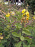 Pois rond marron ou Cascavelle jaune. Crotalaria retusa