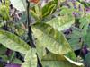 Feuilles Pois rond marron ou Cascavelle jaune. Crotalaria retusa