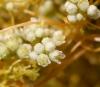 Cassytha filiformis L