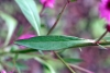 Feuille Celosia argentea
