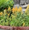 Celosia argentea var. plumosa
