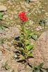 Celosia argentea var. cristata (L.) Kuntze.