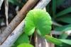 Centella asiatica (L.) Urb