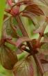 Feuilles Centradenia inaequilateralis