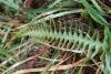 Ceradenia argyrata (Bory ex Willd.) Parris.