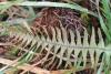 Ceradenia argyrata (Bory ex Willd.) Parris