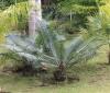 Ceratozamia mexicana Brongn