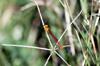 Ceriagrion glabrum, Demoiselle et libellule de La Réunion.