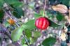 Eugenia uniflora L
