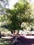 Cerisier du Brésil Cerise du Brésil - Eugenia brasiliensis