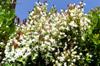 Floraison : Cerisier du Brésil - Eugenia brasiliensis