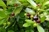 Fruit : Cerise du Brésil - Eugenia brasiliensis