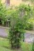Chamaedorea seifrizii Burret. Palmier bambou.