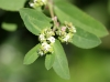 Euphorbia hypericifolia L. Cyathes.