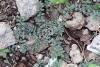 Euphorbia prostrata Aiton.