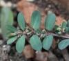 Euphorbia prostrata Aiton. Fleurs.