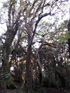 Aphloia theiformis (Vahl) Benn