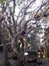 Change écorce arbre indigéne ile de La Réunion