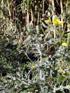 Chardon ou pavot épineux - Argemone mexicana