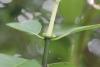 Chassalia corallioides (Cordem.) Verdc.