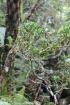 Chassalia gaertneroides (Cordem.) Verdc.