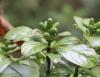 Chassalia gaertneroides (Cordem.) Verdc Bois de merle