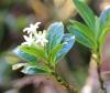 Chassalia gaertneroides (Cordem.) Verdc
