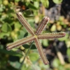 Dactyloctenium aegyptium (L.) Willd