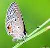 Papillon : Chilades pandava.