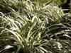 Phalangium, phalangère ou plante araignée. Chlorophytum comosum