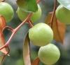Chrysophyllum cainito L