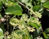Cissus rotundifolia (Forssk.) Vahl