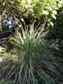 Cymbopogon citratus (DC.) Stapf Citronnelle
