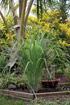 Cymbopogon citratus. Citronnelle