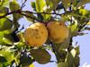 Citrus limon (L.) Burm. f.