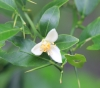 Citrus australasica F.Muell