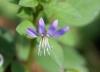 Cleome rutidosperma DC. Fleur