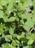 Cleome rutidosperma DC. Fleurs