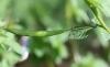 Cleome rutidosperma DC. Fruit