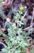 Cleome viscosa L. Fleur Jaune.