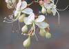 Clerodendrum indicum (L.) Kuntze