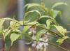 Clerodendrum indicum, Clérodendron d'Inde