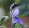 Rotheca myricoides (Hochst.) Steane & Mabb