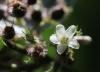 Fleur Clidemia hirta