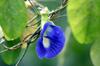 Fleur : Clitoria ternatea.