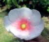 Clusia rosea Jacq