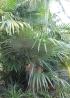 Coccothrinax crinita (Griseb. & H.Wendl. ex C.H.Wright) Becc.