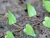 Cocculus orbiculatus (L.) DC